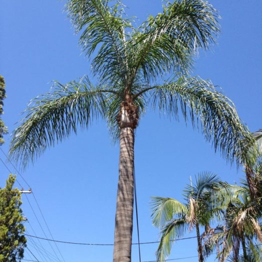 Palm Tree After Pruning