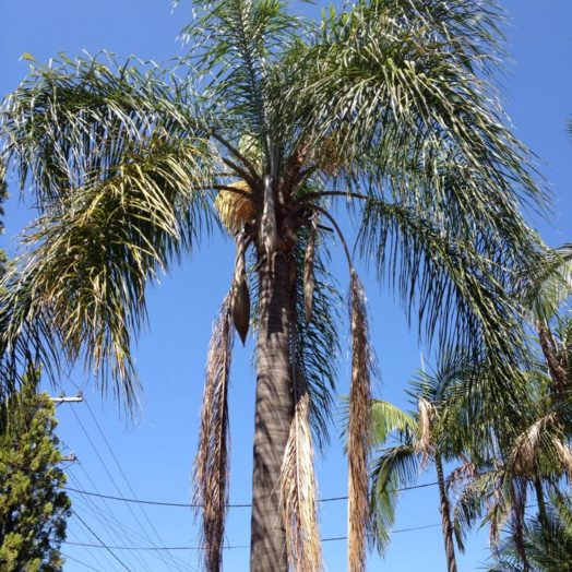 Palm Tree Before Pruning