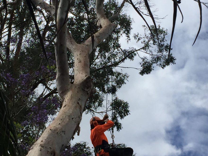 Aborist trimming tree