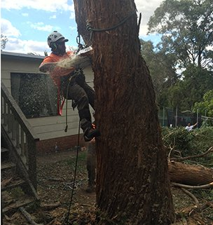 Arborist harnessed to a tree with a chain saw