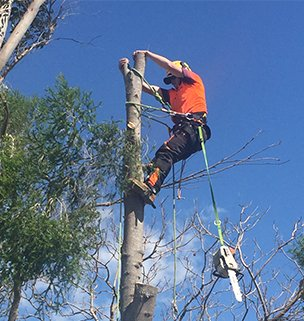 Male Arborist and chain saw harnessed to a tree