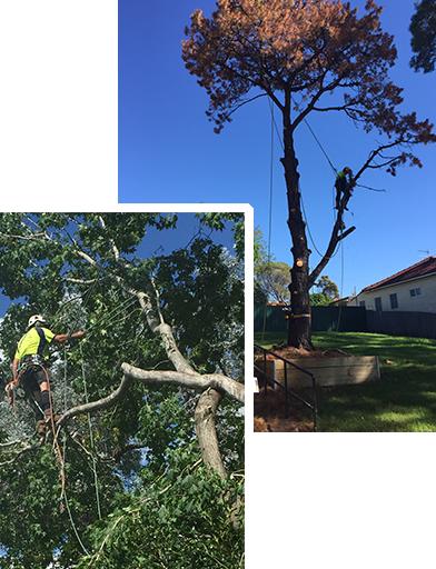 Aborist cutting down a tree