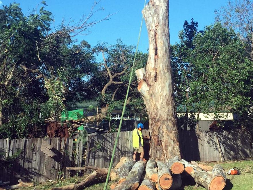 Aborist felling tree
