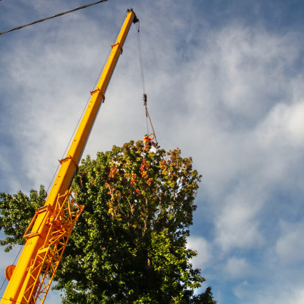 Arborist being hoisted by a crane into tree for removal
