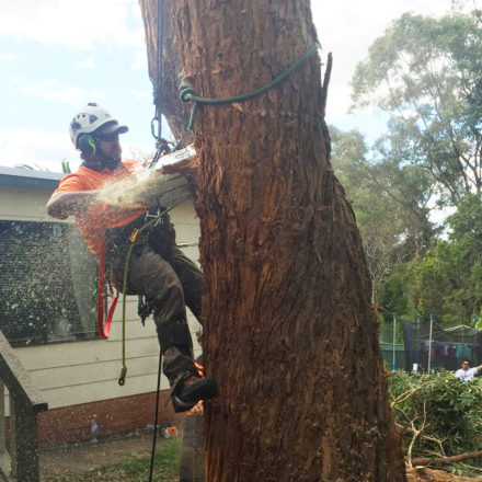 arborist doing tree felling