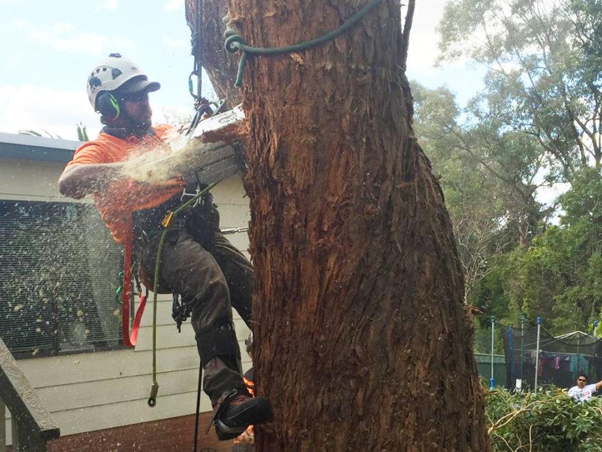 arborist doing tree felling
