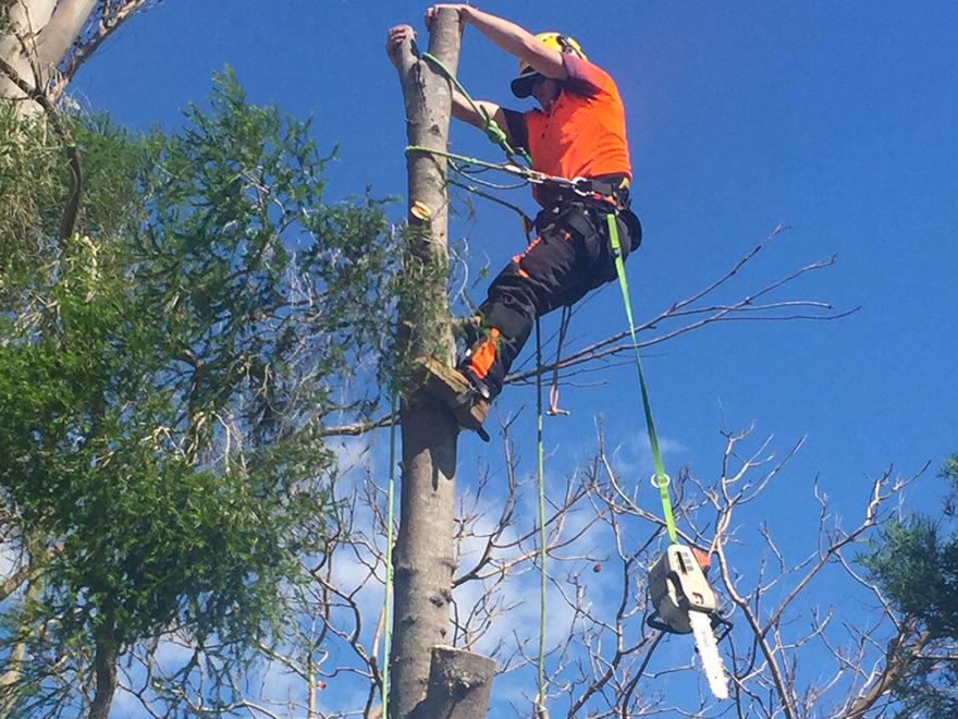 Arborist tree felling