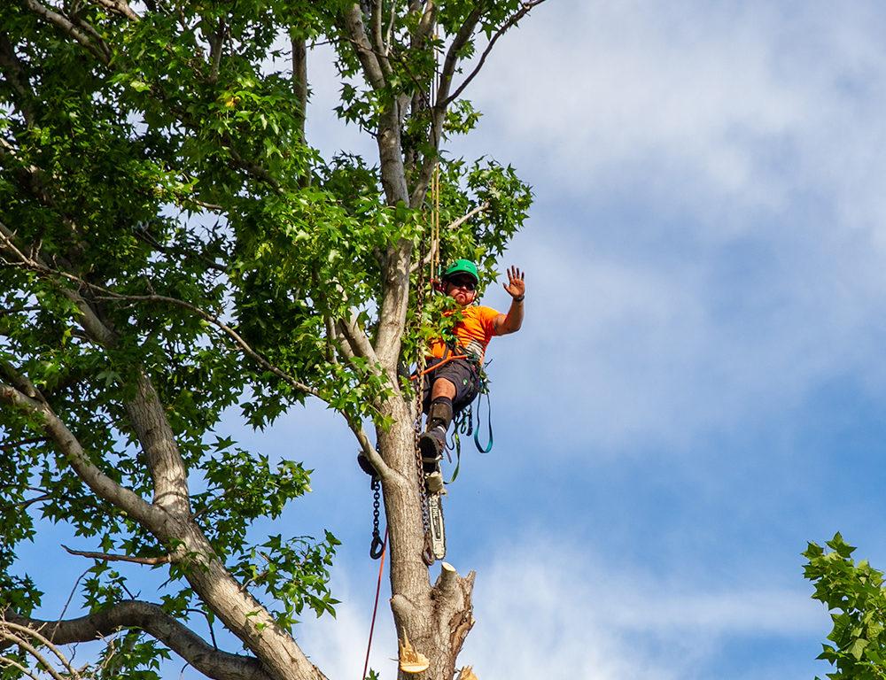 Aborist in Tree