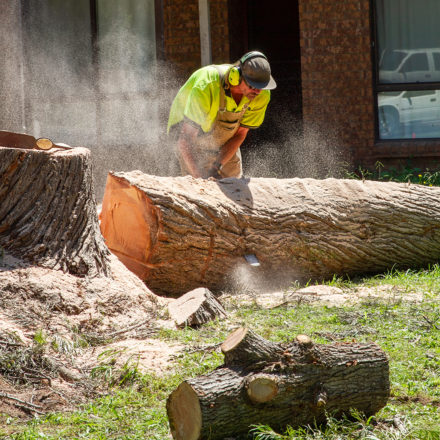 Arborist cutting lopped tree