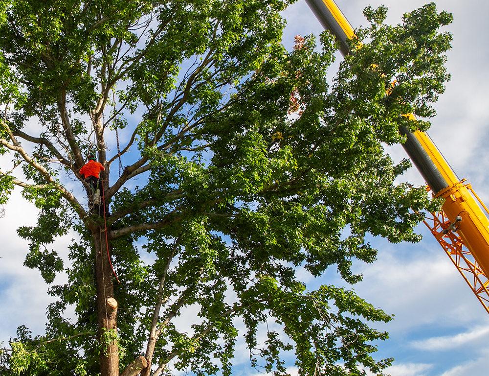 Arborist lopping tree with crane