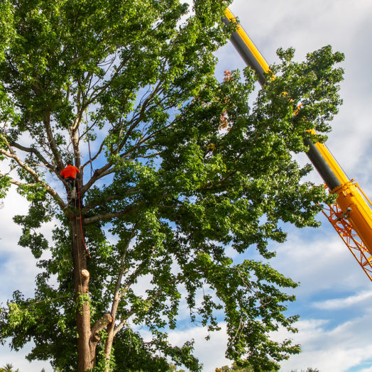 Arborist lopping tree with crane
