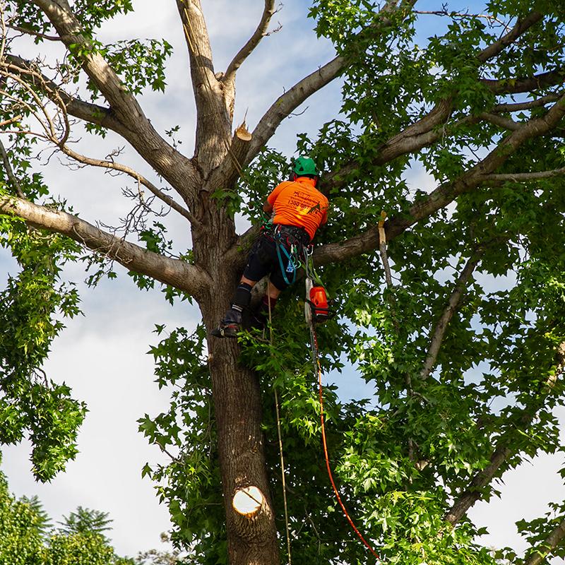 Tree Lopper Climbing A Tree