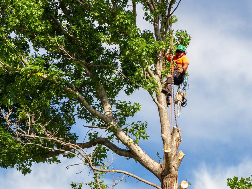 Aborists Crown Lifting Tree