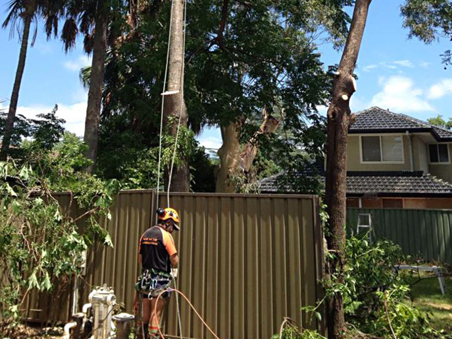 crown lifting reduction tree service sydney