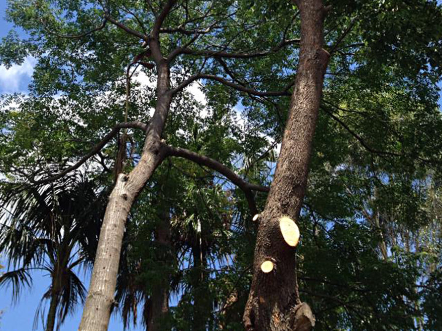 crown lifting shaping tree service sydney