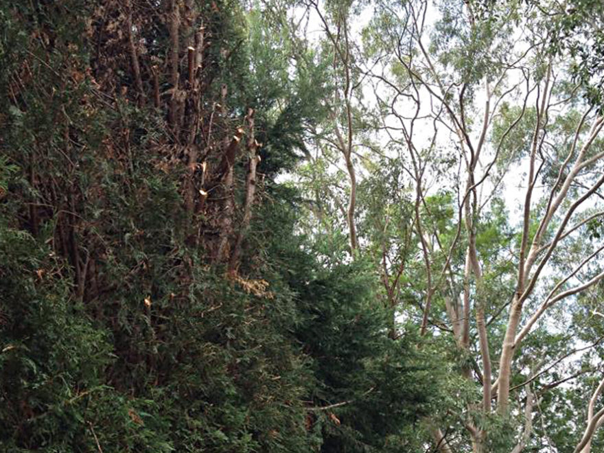crown lifting thinning tree service sydney