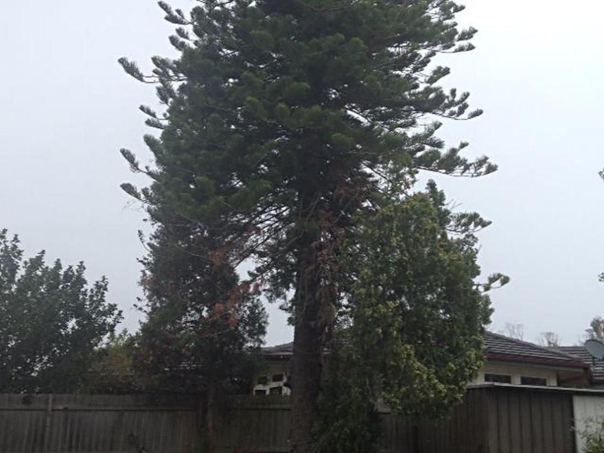 crown lifting tree service penrith