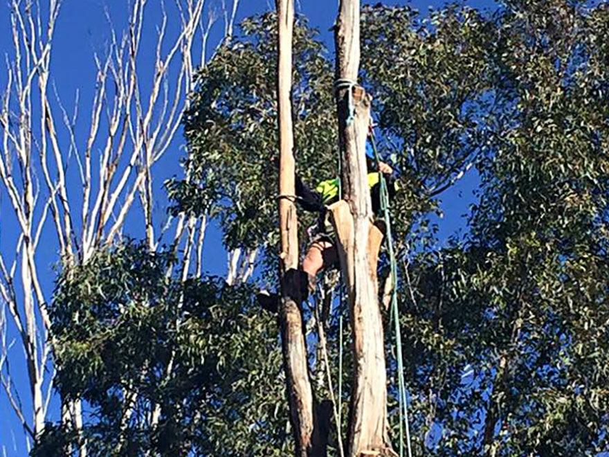 tree pruning service arborist penrith